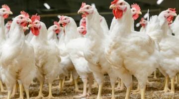 Eksport drobiu do Chin, czyli polski kurczak po chińsku