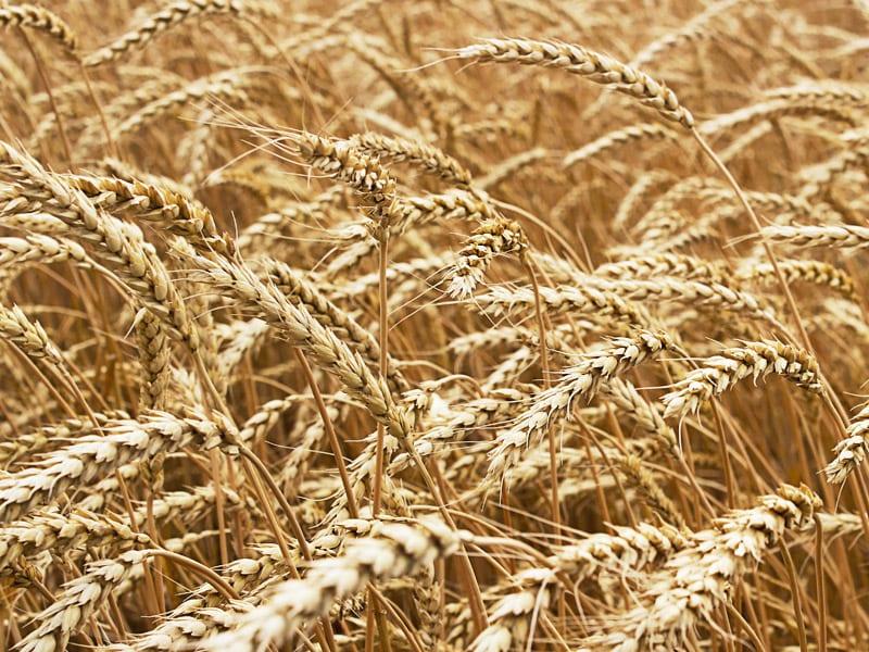 Eksport pszenicy do Egiptu