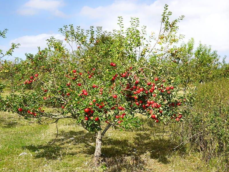 Import polskich jabłek