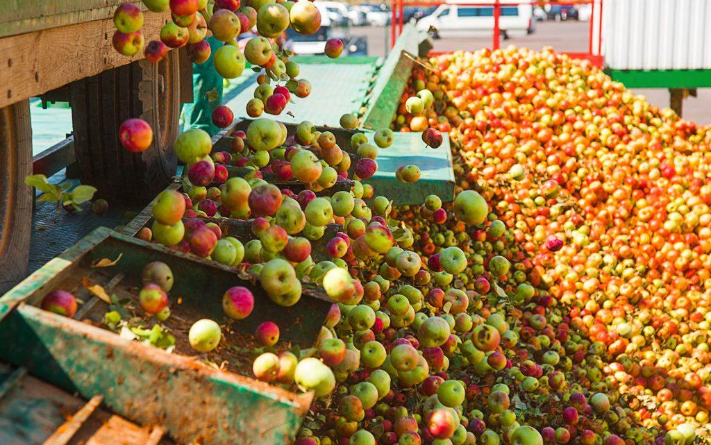 Eksport jabłek – sposób na klęskę urodzaju